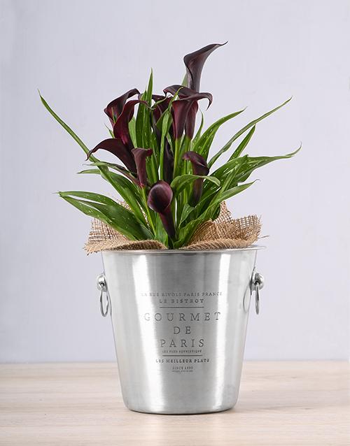 plants: Black Zantedeschia Ice Bucket!