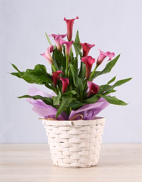 lilies: Pink Zantedeschia Basket!