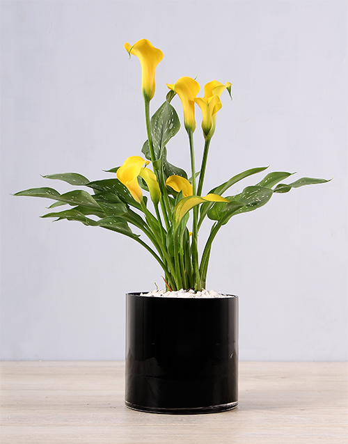 prices: Yellow Zantedeschia in Black Vase!