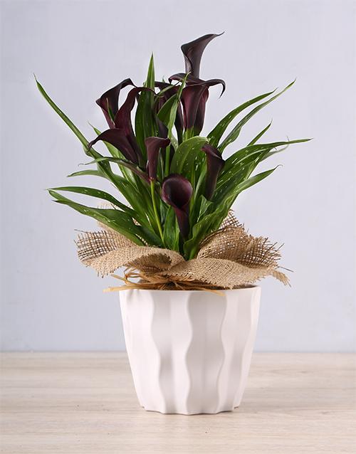 lilies: Black Zantedeschia in White Container!