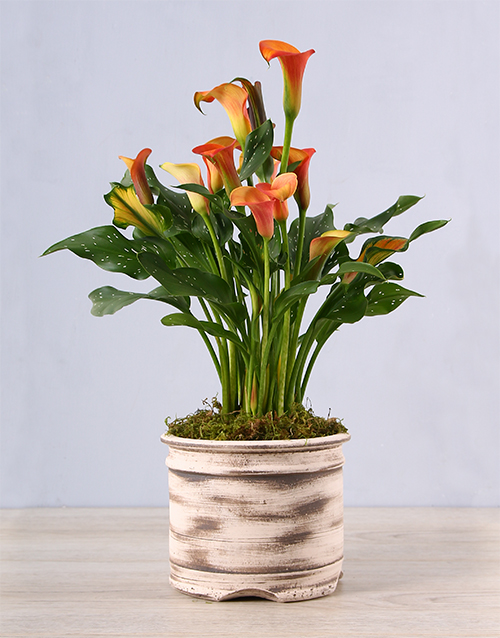 lilies: Ceramic Pot with Orange Zantedeschia!