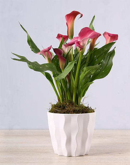 colour: Pink Zantedeschia in White Container!