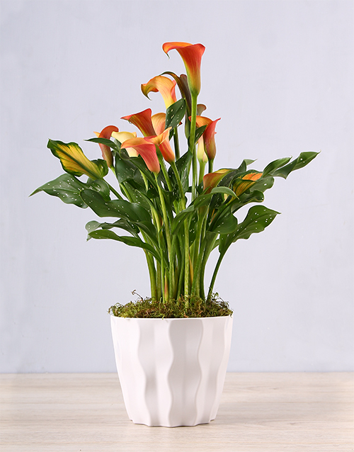 colour: Orange Zantedeschia in White Container!