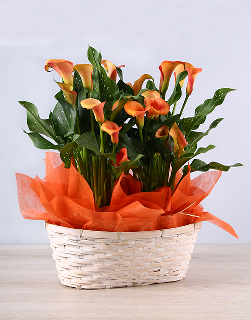lilies: Vibrant Orange Zantedeschias in Basket!