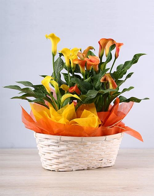 lilies: Sunny Zantedeschia Basket!