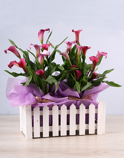 plants: Pink Zantedeschia in White Picket Fence!
