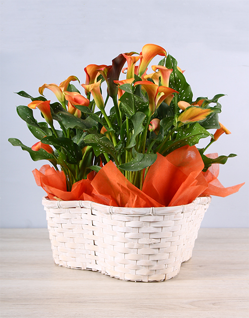 plants: Joyous Orange Zantedeschia Basket!
