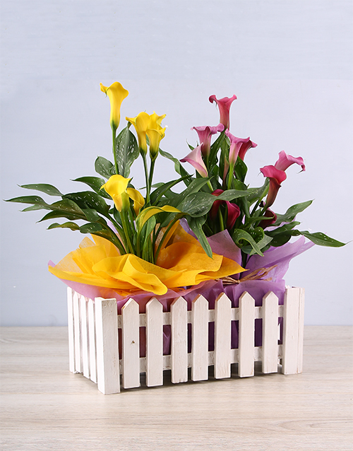 flowers: Bright Colour Zantedeschia Picket Fence!