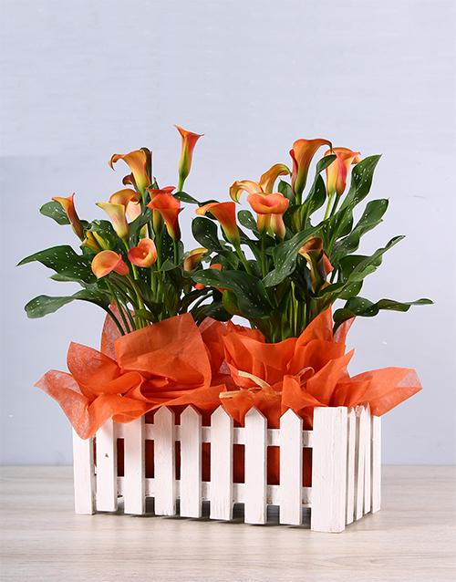 colour: Vibrant Zantedeschia Picket Fence Plant!