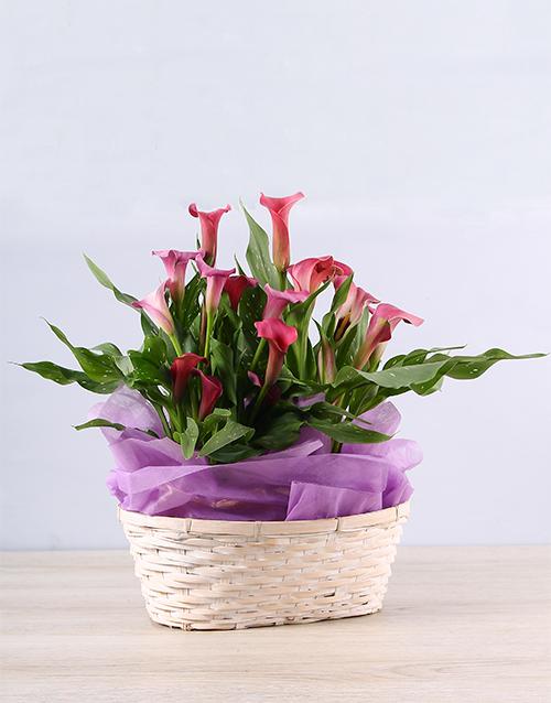 plants: Pink Grace Zantedeschia Basket!