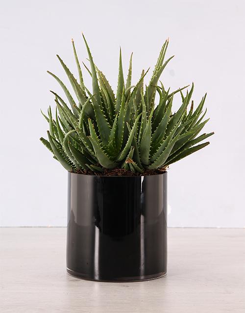 plants: Aloe Plant in Black Cylinder Vase!