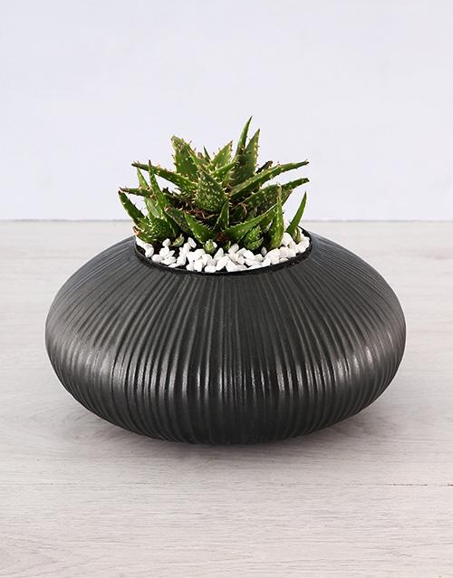 birthday: Aloe Trend Setter Plant!