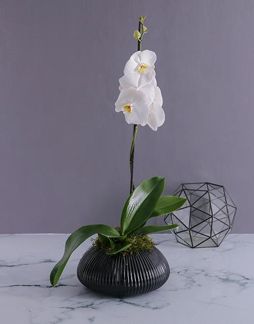 anniversary: Phalaenopsis Orchid in Gunmetal Vase!