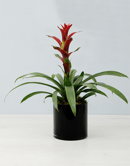 colour: Guzmania In Black Cylinder Vase!