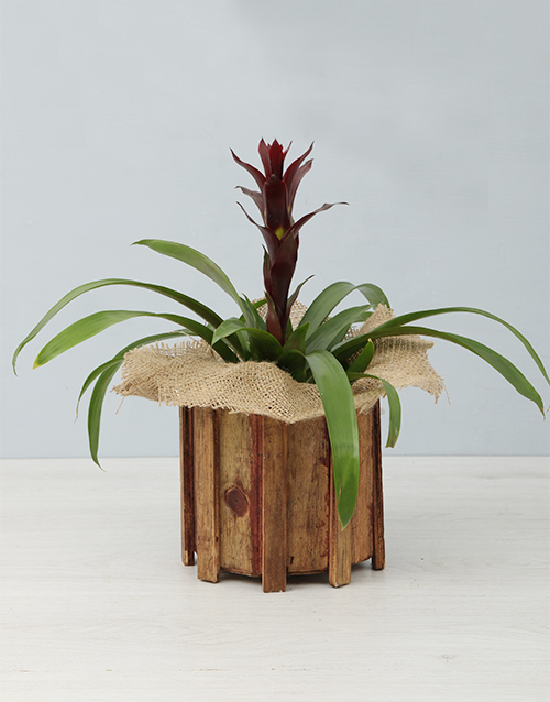 colour: Guzmania in a Wooden Spike Vase!