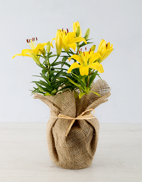 lily: Yellow Asiatic Lily in Hessian Wrapping!