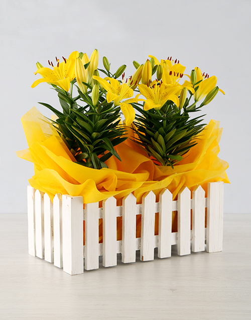 colour: Asiatic Lily in Picket Fence!