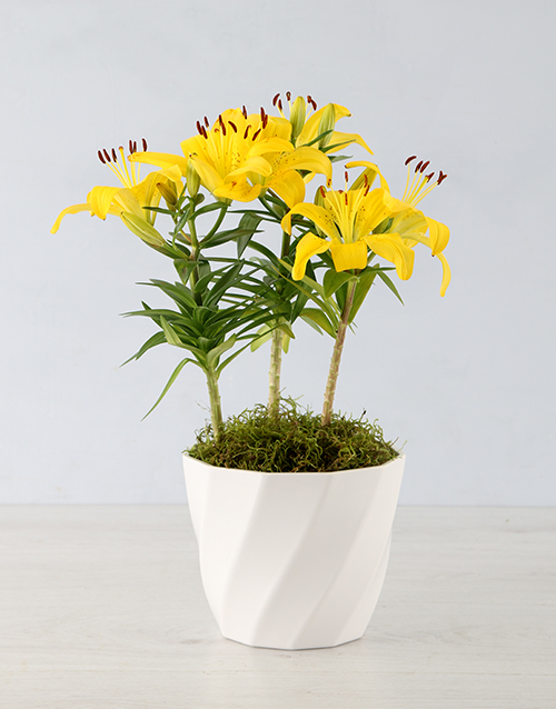 colour: Asiatic Lily Pot!