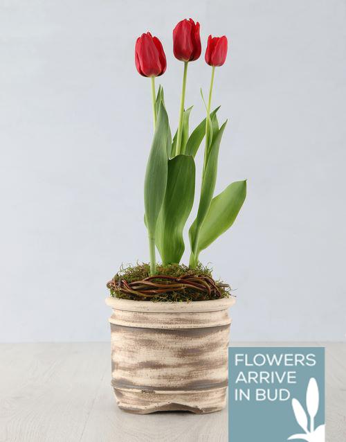 flowering: Red Tulip Plant in Ceramic Pot!