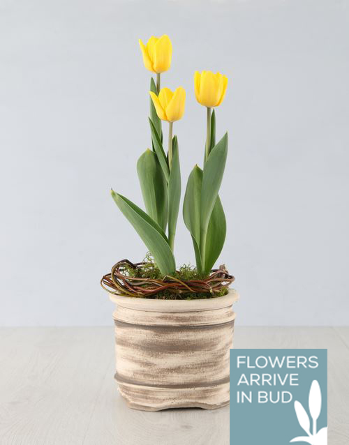 get-well: Yellow Tulip Plant in Ceramic Pot!