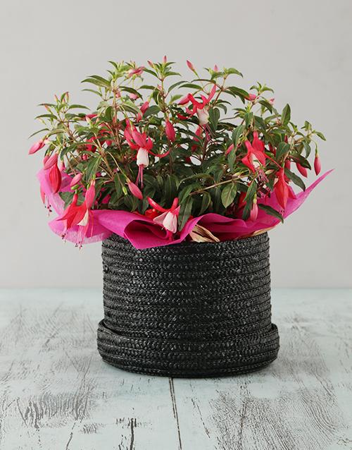 in-a-box: Pink Fuchsia in a Hat Box!