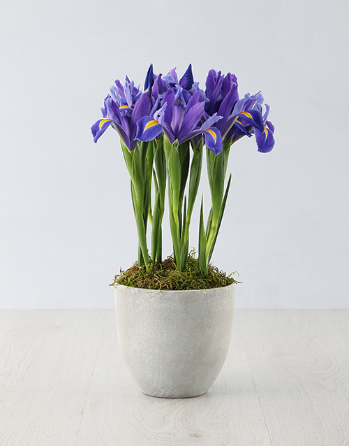 pottery: Stately Irises in a Cement Pot!
