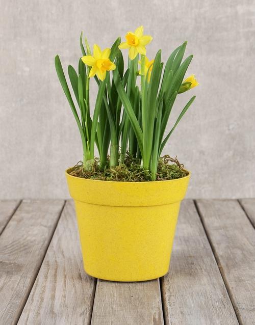 get-well: Daffodil Pot!