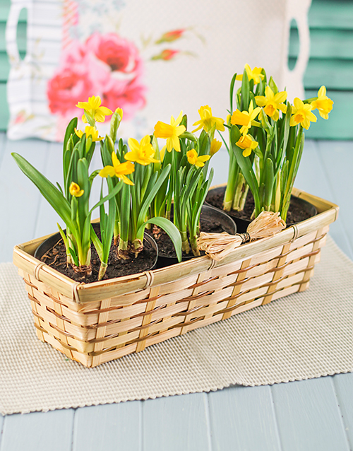 apology: Daffodils in a Basket!