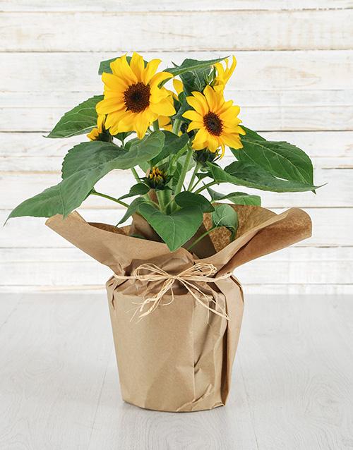 sunflowers: Petals of Sunshine!