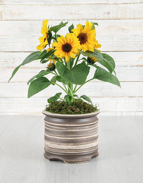 thank-you: Sunflowers in Natural Pot!