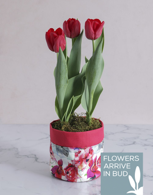 tulips: Red Potted Tulip in Fabric Pot Cover!