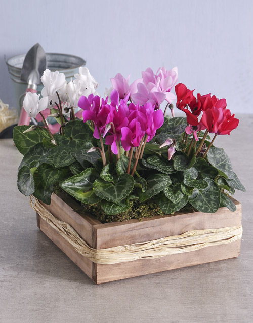 seasonal: Mixed Cyclamen in Wooden Crate!