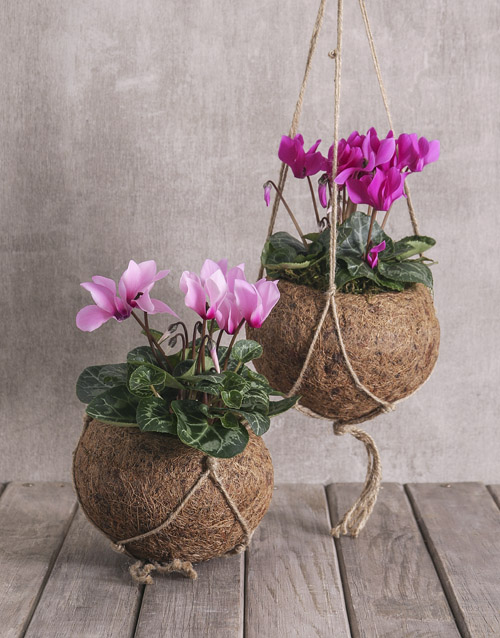 basket: Cyclamen in Kokedama !