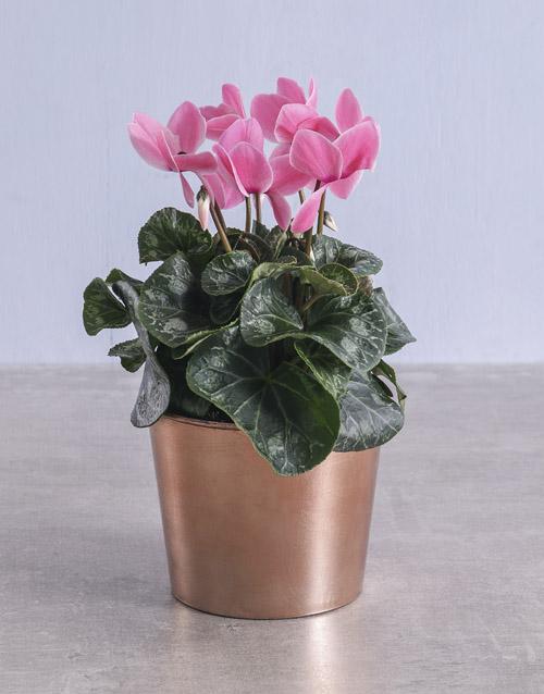 get-well: Cyclamen in Rose Gold Container!