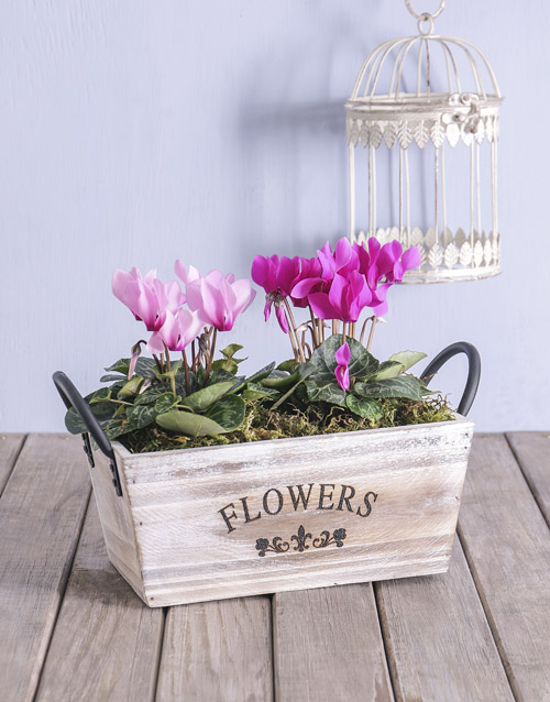 seasonal: Mixed Cyclamen in Wood Container!