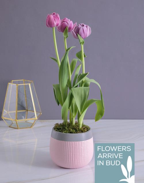 colour: Purple Tulip in Two Tone Pot!