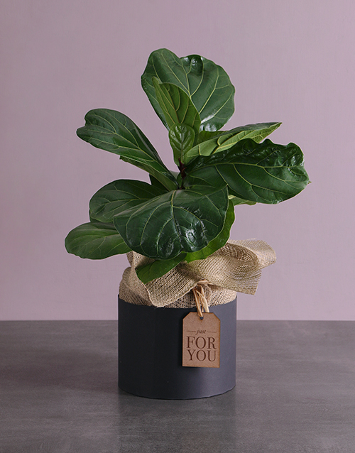 whats-new: For You Fiddle Leaf Fig!