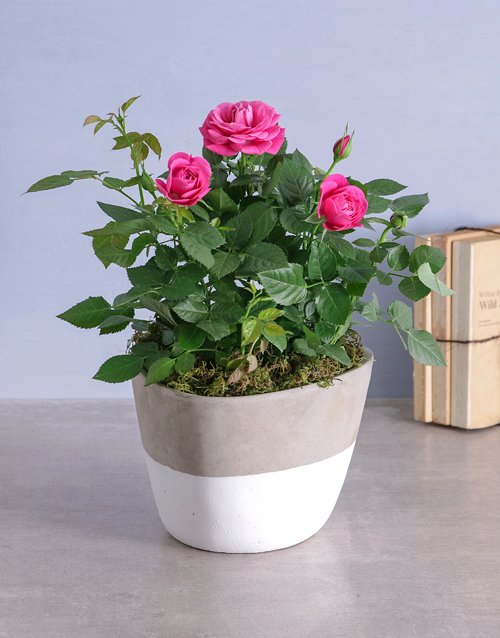colour: Cerise Rose Bush In Cement Feel Pot!