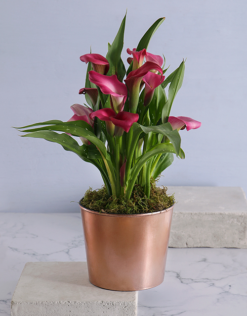 bosses-day: Zantedeschia in Copper Cleo Pot!