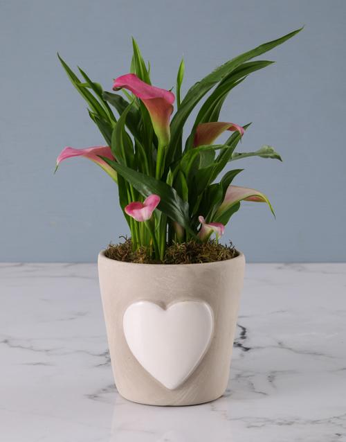 apology: Zantedeschia in Embossed Heart Cement Pot!