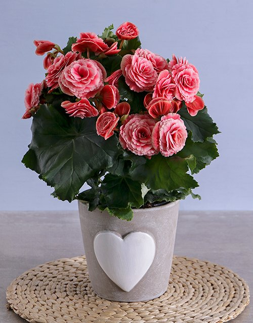 colour: Pink Begonia in Heart Ceramic!