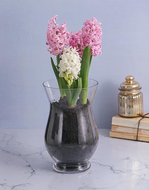hyacinths: Hyacinths in a Hurricane Vase!