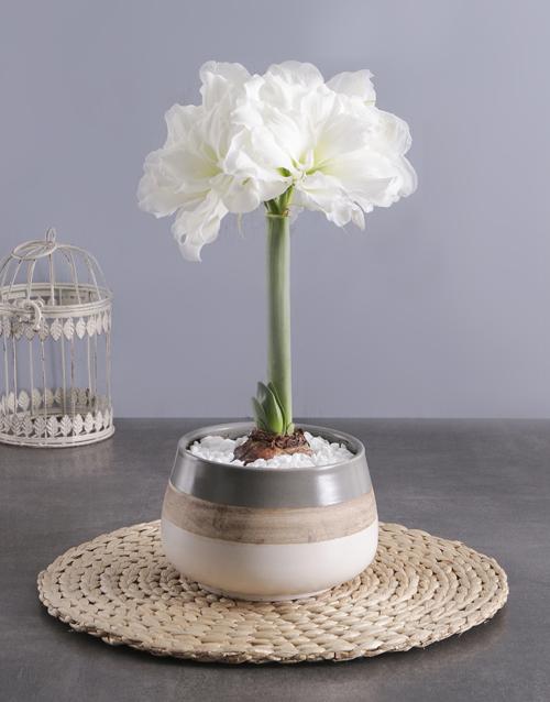 flowering: White Amaryllis Plant in Ceramic Pot!