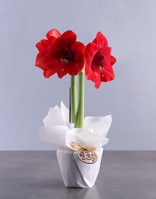 flowering: Festive Joy Amaryllis !