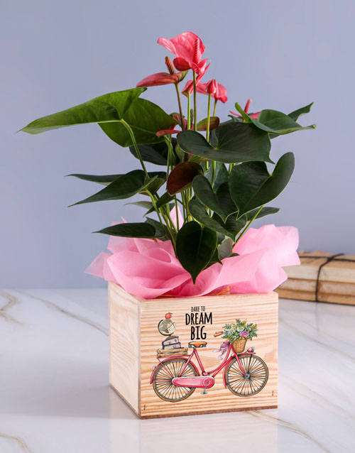 christmas: Dream Big Anthurium Plant!