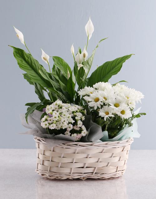 colour: Vibrant Chrysanthemum Blooms!