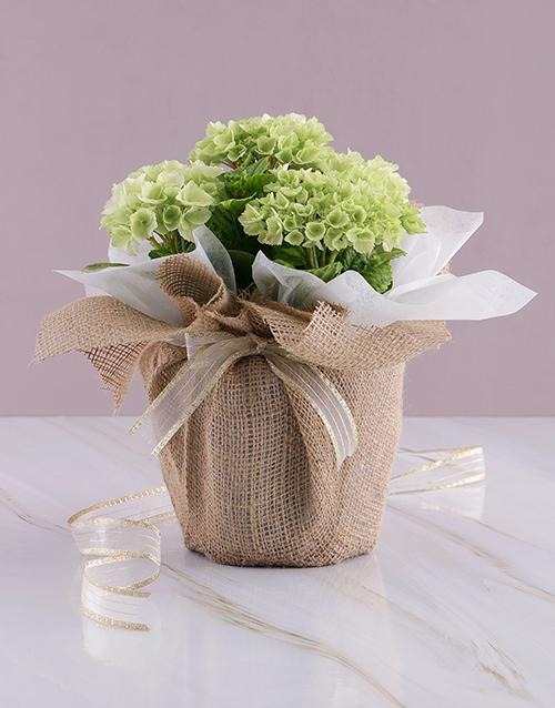 colour: Natural Delight Hydrangea!