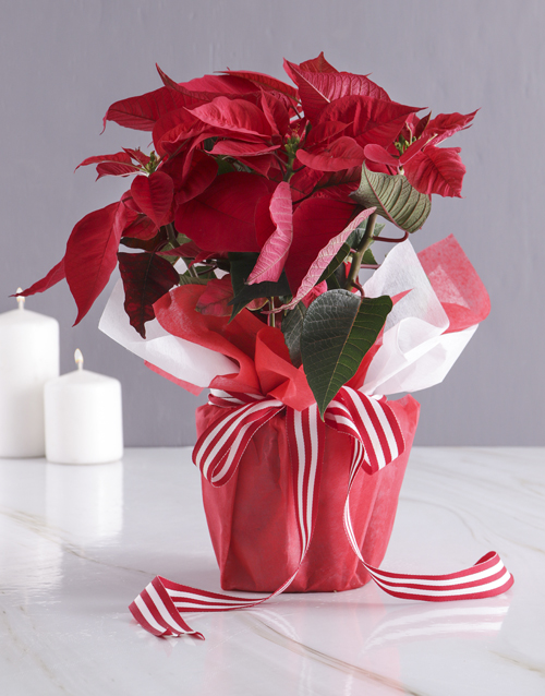 christmas: Poinsettia in Red Wrapping!