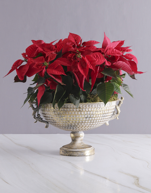 christmas: Poinsettias in Gold Chalice Bowl!