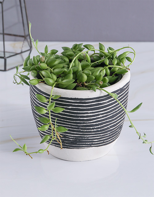 bosses-day: String Of Pearls In Striped Pot!